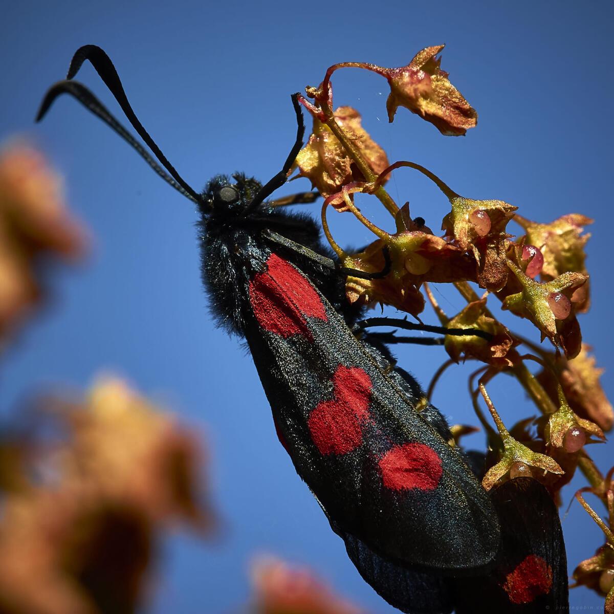 Qui saura nommer cet insecte ?